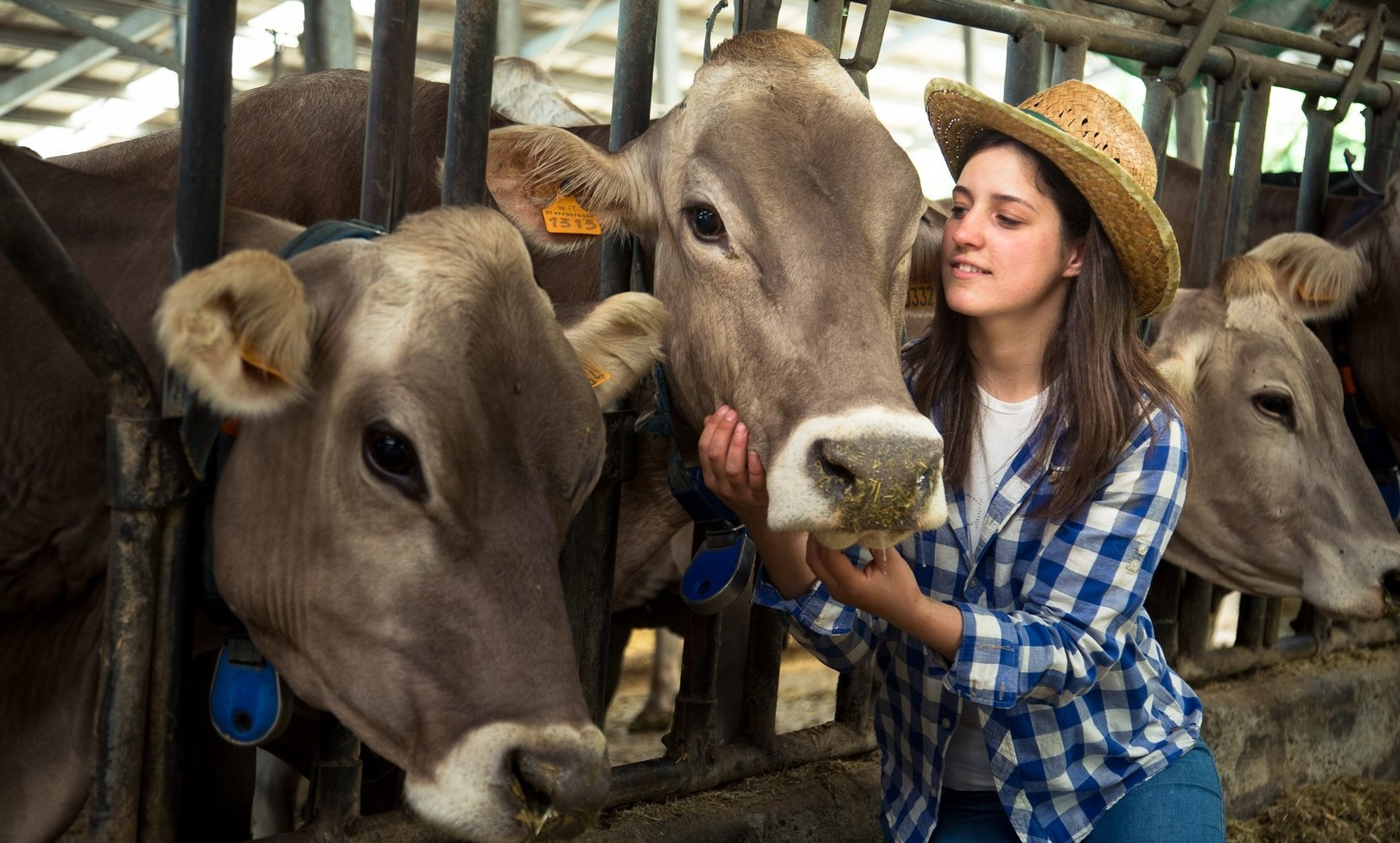 i bovini della Latteria Valtellina